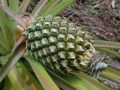 Ananasai